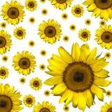 Sonnenblumehintergrund lizenzfreies stockfoto