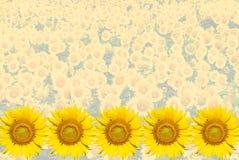 Sonnenblumehintergrund Stockfotos