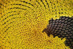 Sonnenblumehintergrund Lizenzfreie Stockfotos