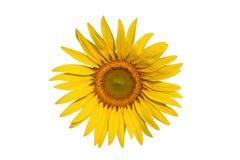 Sonnenblumeisolat Stockbilder
