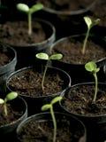 Sonnenblumekeimung Lizenzfreies Stockfoto