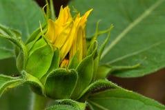 Sonnenblumeknospe Lizenzfreie Stockbilder