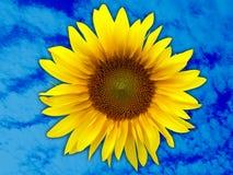 Sonnenblumekopf Lizenzfreie Stockbilder