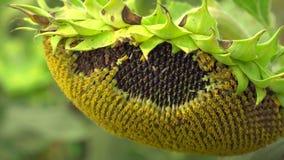 Sonnenblumekopf mit Startwerten für Zufallsgenerator stock video