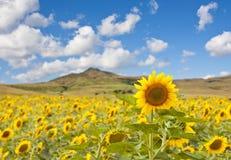Sonnenblumelandschaft lizenzfreie stockfotografie