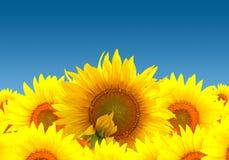 Sonnenblumelandschaft Lizenzfreies Stockbild