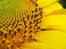 Sonnenblumemakro lizenzfreie stockfotografie