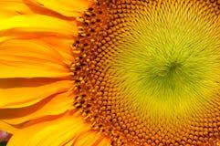 Sonnenblumemakronahaufnahme Stockbild