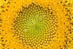 Sonnenblumemitte Stockfoto