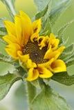Sonnenblumenöffnung Stockbilder