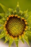 Sonnenblumenöffnung Stockfoto