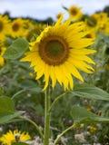 Sonnenblumen Lizenzfreies Stockfoto