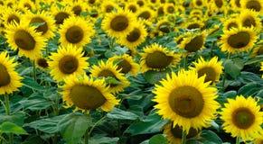 Sonnenblumen Stockfoto