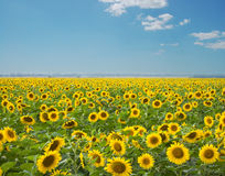 Sonnenblumen Lizenzfreie Stockbilder
