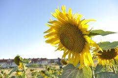 Sonnenblumen Lizenzfreie Stockfotos