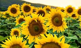 Sonnenblumen stockbilder