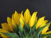 sonnenblumen Arkivfoton