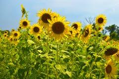Sonnenblumen Lizenzfreies Stockbild