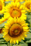 Sonnenblumen stockbild