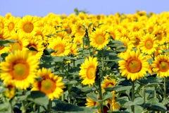 Sonnenblumen Stockfotos