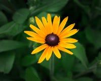 Sonnenblumen außerhalb des Tageslichts stockfoto