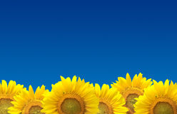 Sonnenblumen auf blauem Himmel Stockfoto