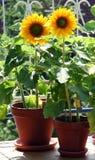 Sonnenblumen auf dem Balkon Stockfoto