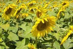 Sonnenblumen auf dem Feld lizenzfreies stockbild