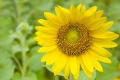 Sonnenblumen auf dem Feld stockfotos