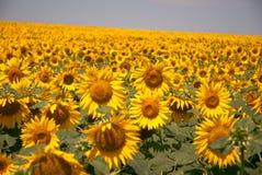 Sonnenblumen auf dem Feld Lizenzfreie Stockbilder