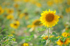 Sonnenblumen auf dem Gebiet Lizenzfreie Stockbilder