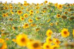 Sonnenblumen auf dem Gebiet Stockfotos
