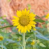 Sonnenblumen auf dem Gebiet lizenzfreie stockfotografie