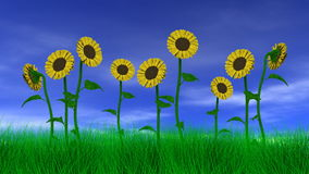 Sonnenblumen auf dem Gebiet stock footage