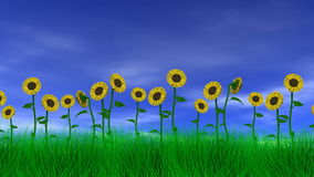 Sonnenblumen auf dem Gebiet stock video