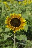 Sonnenblumen auf dem Gebiet Stockfotografie