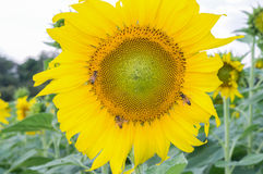 Sonnenblumen auf dem Gebiet Lizenzfreies Stockbild