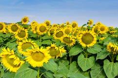 Sonnenblumen auf dem Gebiet II lizenzfreie stockfotos