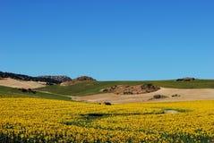 Sonnenblumefeld, Andalusien, Spanien. Stockbild