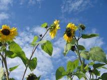 Sonnenblumen auf dem Himmel Stockfoto