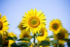 Sonnenblumen auf dem Himmelhintergrund lizenzfreies stockfoto