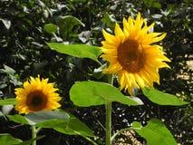 Sonnenblumen auf dem Hintergrund von Bäumen stockfotografie