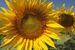 Sonnenblumen auf einem Feld Stockbild