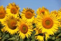 Sonnenblumen auf einem frühen Morgen auf einem Gebiet Stockfoto