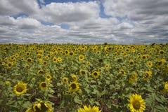 Sonnenblumen auf einem Gebiet Lizenzfreie Stockbilder