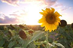 Sonnenblumen auf einem Gebiet am Nachmittag Lizenzfreie Stockbilder