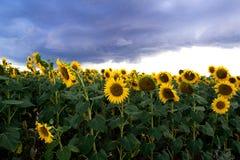 Sonnenblumen auf einem Gebiet und dunklen Wolken Himmel des Teufels Stockbild