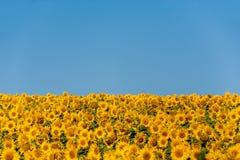 Sonnenblumen auf einem Nahaufnahmegebiet Lizenzfreie Stockfotos