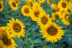 Sonnenblumen auf einem Nahaufnahmegebiet Stockfoto