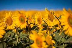 Sonnenblumen auf einem Nahaufnahmegebiet Stockfotos